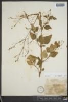 Boerhavia erecta image