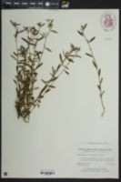 Helianthemum canadense image