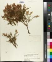 Adenostoma sparsifolium image