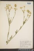 Erigeron ramosus image
