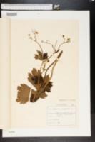 Ranunculus lanuginosus image