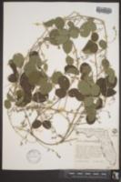 Galactia fasciculata image