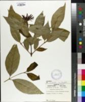 Calycanthus fertilis image