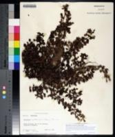 Mecardonia procumbens image