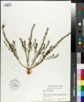 Image of Thesium chinense