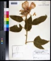 Image of Hibiscus splendens