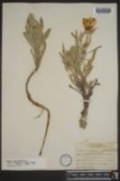 Oenothera macrocarpa subsp. fremontii image