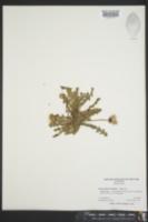 Taraxacum erythrospermum image