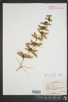 Berberis gagnepainii image