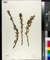 Prunus cuneata image
