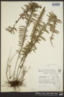 Polypodium plumula image