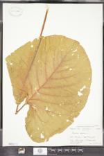 Rumex alpinus image