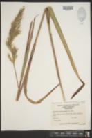 Saccharum alopecuroides image