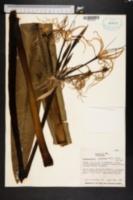 Hymenocallis latifolia image