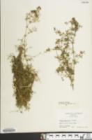 Image of Galium asprellum