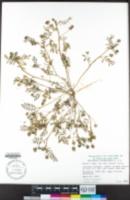 Astragalus didymocarpus image