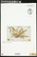 Image of Asplenium myriophyllum