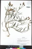 Palafoxia arida var. arida image