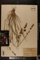 Image of Eragrostis elongata