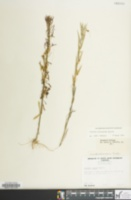 Image of Cuscuta polygonorum