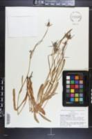 Eryngium phyteumae image