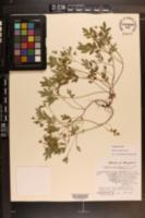 Phacelia covillei image