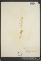 Lesquerella auriculata image