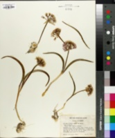 Allium tolmiei image