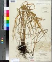 Chasmanthium laxum image