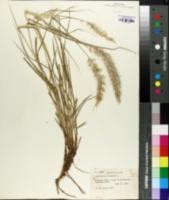 Image of Pennisetum orientale