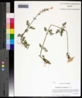 Glandularia canadensis image