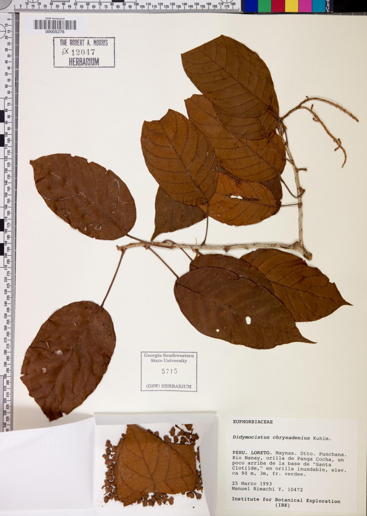 Didymocistus chrysadenius image