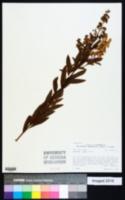 Spiraea alba image