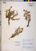 Calylophus lavandulifolius image