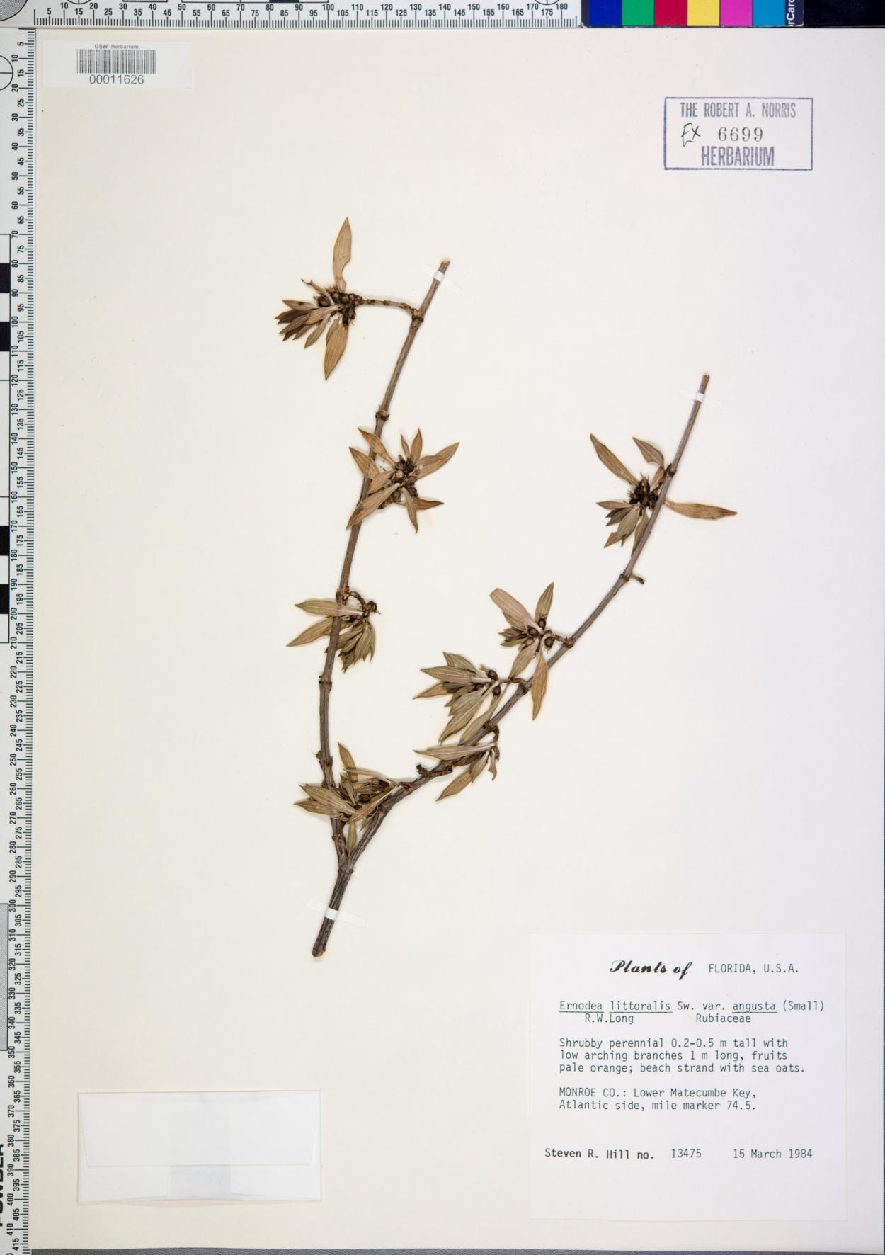 Ernodea littoralis var. angusta image