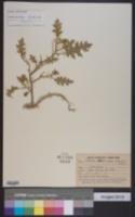 Image of Solanum virginianum