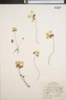 Anemonella image