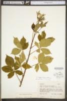 Rubus trux image