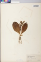 Galearis spectabilis image