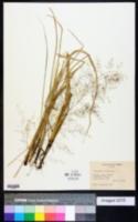 Image of Eragrostis acutiglumis