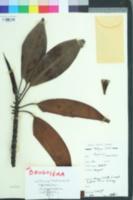 Image of Bruguiera gymnorrhiza