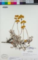 Eriogonum douglasii image
