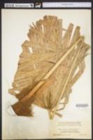 Image of Acoelorraphe wrightii