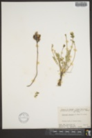 Oxytropis gracilis image