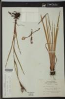 Iris tridentata image