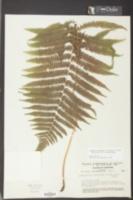 Thelypteris hispidula image