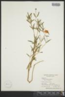 Image of Zinnia linearis