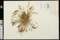 Leavenworthia uniflora image