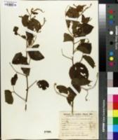 Image of Gouania ulmifolia