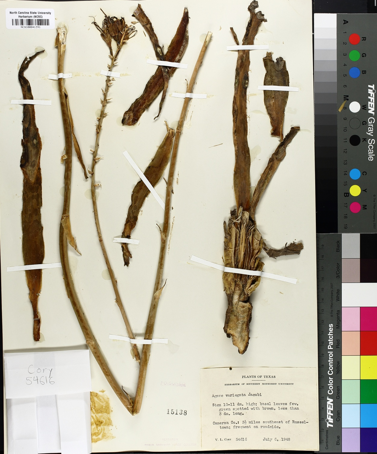 Agave variegata image